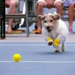 3 Dogs Are Ball Boys In a Venus Williams Tennis Match.
