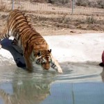 Rescued Tigers Swim for the First Time. And Their Reaction to Water Is Priceless.