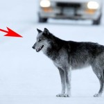 When They Brought These Wolves Into Yellowstone, They Had No Idea This Would Happen.