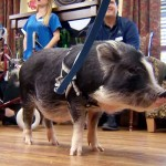 They Put Little Pigs In a Nursing Home. And It Changed Everyone's Lives.