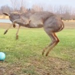 A Baby Deer Plays With a Ball for the First Time… And Completely Loses It.
