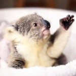 A Baby Koala Poses for the Camera. And It's the Most Adorable Photoshoot Ever.