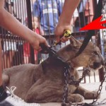 A Circus Lion Was Chained to a Truck for 20 Years. Now Watch Him Take His First Steps to Freedom.