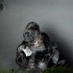 Koko the Gorilla Has a Chilling Message for Humanity That You Need to Hear.