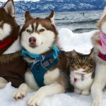3 Huskies Become Best Friends With a Cat After Saving It From Dying.