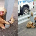 A Tiny Terrified Sloth Got Stuck On a Highway. Now Watch What the Cops Do.