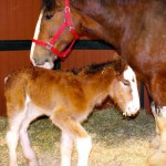 Say Hello to 'Baby Mac', the Newest Member of Budweiser's Clydesdale Family.