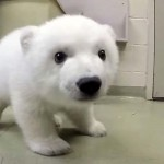 This Baby Polar Bear Is So Cute, She's Melting People's Hearts All Over the World.