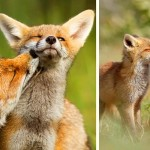 Foxy Love: A Photographer Proves That Foxes Are Extremely Loving Creatures.