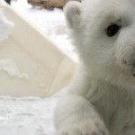 A Polar Bear Cub Discovers Snow for the First Time. And He's So Cute He Just Might Melt Your Heart.