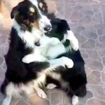 These Border Collies Remind Us That Best Friends Love Us Just the Way We Are.
