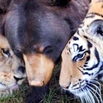 Meet the Brown Bear Who Is Best Friends With a Lion and a Tiger. Oh My!…