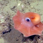 This Octopus Is So Adorable That Scientists Just Might Name It 'Adorabilis'. Seriously.