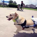 A Man In a Wheelchair Finds a Best Friend In a Dog That Faces the Same Struggles As He Does.