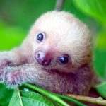 There's a 'Sloth Institute' Which Looks After Baby Sloths That Lost Their Moms. Seriously.