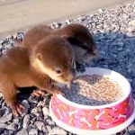 Rescued Baby Otters Couldn't Be More Excited for Mealtime. Listen Closely When the Bowl Is Set Down.