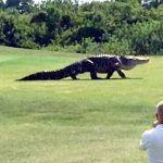 This Giant Alligator Was Spotted On a Golf Course In Florida… Incredible!