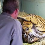 A Tiger Mom Gives Birth to a Cub. But What the Keeper Sees Under Her Legs Leaves Him Speechless.