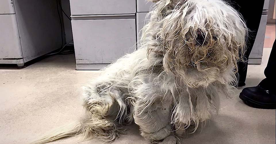 A Groomer Shaves Off Pounds of Matted Fur to Reveal the Prettiest Little Dog Underneath.