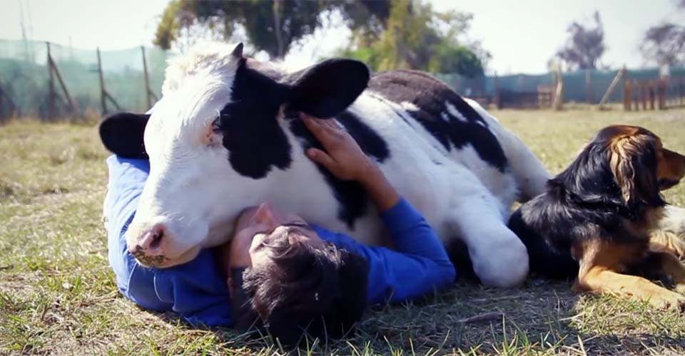 Saved From Slaughter: A Dairy Calf Repays His Rescuers In the Most Adorable Way.