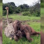 An Orphaned Baby Elephant Is Comforted by Cuddles From a Rescued Ostrich.