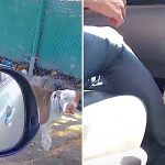 A Lonely Pit Bull Living In the Alley Wants to Jump Right Inside a Stranger's Car.