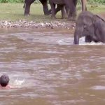 A Little Elephant Rushes Into the River to Save Her Favorite Person From Drowning.
