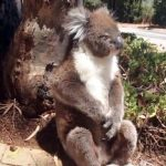 A Koala Gets Kicked Out Tree and Cries… And It's Adorable.