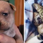 2-Day-Old Puppy's Mom Gets Hit by a Car, Then Rescuers Introduce Him to a Nursing Mama Cat.