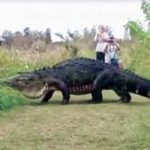 Massive alligator caught on video is not a hoax.