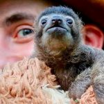 If you want to smile, watch B-Rad the baby sloth do his thing.