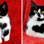 Meet Zoe, the adorable cat who literally wears her heart on her chest.
