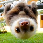 An adorable group of rescued baby sloths carry on a squeaky conversation.