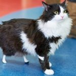 Amputee cat gets new bionic legs. Now watch him walk again for the first time.