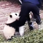 Adorable baby panda does everything he can to get a hug from nanny.