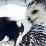 Husky puppy and owl have become adorable best friends. They'll make your day.