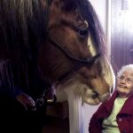 Charming Clydesdale horse roams halls at nursing home cheering residents.