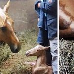 Pregnant horse gives birth to foal, but they notice her strange afterbirth and come running.