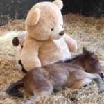 Abandoned pony dearly misses mom. Then rescuers give him a teddy bear to cuddle with.