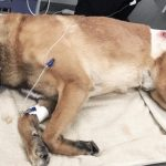 Hero K9 dog takes a bullet for his police officer and saves his handler's life.