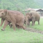 Elephants run to greet a new rescued baby elephant at refuge.