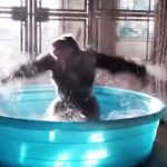 It's been a long week, so here's a gorilla dancing in a pool.