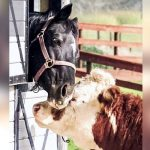 3-year-old rescued steer meets 33-year-old stallion. Now they are inseparable.