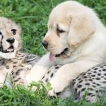 Cheetahs are so shy that zoos give them their own emotional 'support dogs'.