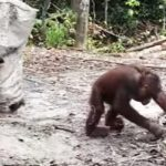 Orangutan tries to get his friend's attention dressed as a ghost.