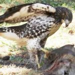 Here's why this young hawk thinks it's an eagle.