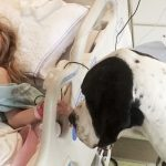 A giant dog approaches a hospital bed. Keep your eye on his back…