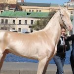 Meet the horse that looks like it's been dipped in gold — and is called 'the world's most beautiful'.