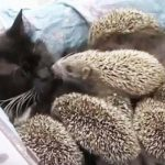 Cat becomes mom to family of orphaned hedgehogs.