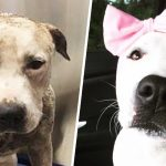 After life of abuse, a headband-wearing pit bull is named 'hero dog' of the year.